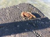 Lido Di Jesolo : Crab